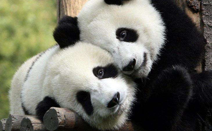 PandaHug