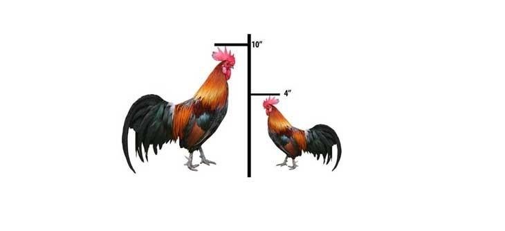 Cockmeasuring
