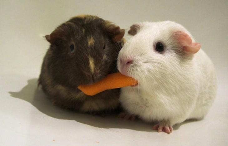 sharing-guinea-pigs.jpg