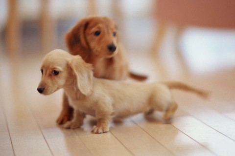 wallpaper-cute-hd-dachshund-puppies-wallpaper-upload-at-march-13_thumb.jpg
